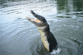 Crocodile jumping—Photo Queensland Government.