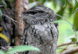 Tawny frogmouth Photo: Queensland Government