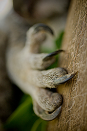 Koala claws are good for climbing