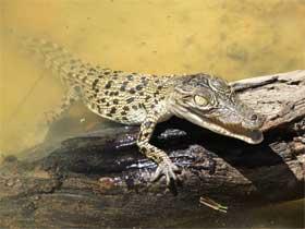 Baby crocodile. Photo Queensland Government.