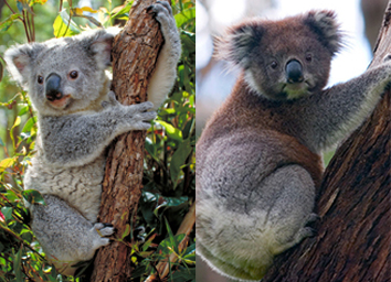 Northern koala (left) and Southern koala (right)