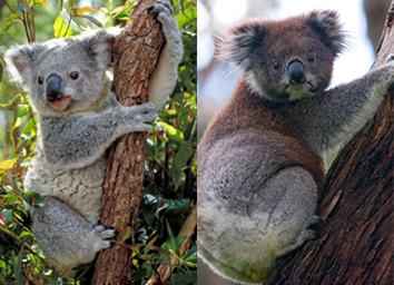 Northern koala (left) and Southern koala (right)