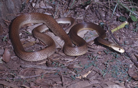 Coastal taipan  Photo: Queensland Government