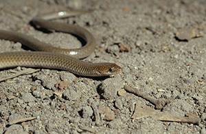 Legless lizard  Photo: Queensland Museum