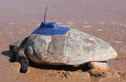 Leonie at Mon Repos making her way back to the water with a new satellite tag fitted on her back.