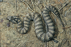 Common death adder Photo Queensland Museum