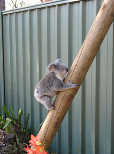 Placing a timber pole on the side of fencing can help koalas leave a property