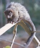 Lemuroid ringtail possum  Photo: Queensland Government