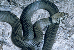 Pale-headed snake  Photo: Queensland Government
