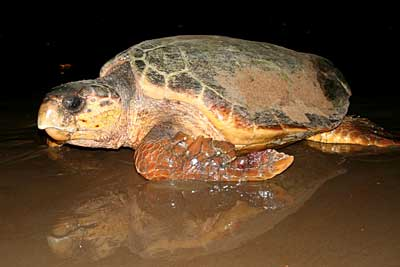 Adult loggerhead turtle. Photo: Col Limpus Queensland Government