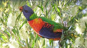 Rainbow lorikeet. A common backyard bird but worth a closer look. Plant a bottlebrush outside a window and let the lorikeets come to you.