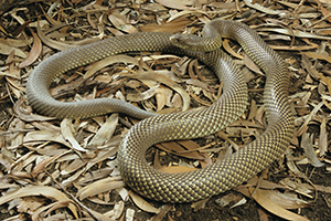 King brown snake Photo Queensland Musuem