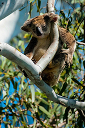 Koalas may also live in urban areas