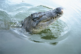 Crocodile spy hop—Photo Queensland Government.