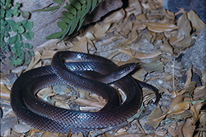 Slaty-grey snake  Photo: Queensland Museum