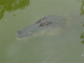 Crocodile at the water's surface—Photo Queensland Government.