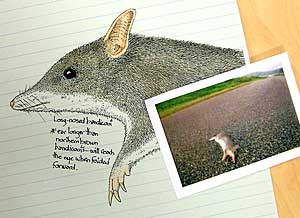 A long-nosed bandicoot has little chance against a fast car on a wide road.