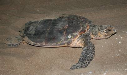 Hawksbill turtle  Photo: Queensland Government