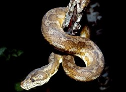 Carpet python. Photo: Queensland Government.