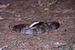 Eastern tiger snake. Photo: Queensland Government