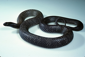 Spotted black-snake. Photo: Queensland Museum