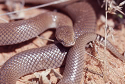 Myall snake  Photo: Queensland Museum