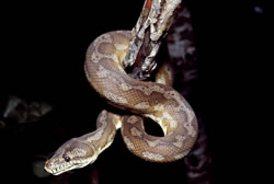 Carpet python  Photo: Queensland Government