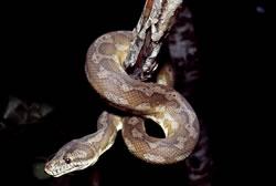 Carpet python  Photo: Queensland Government