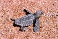 Olive ridley turtle hatchling. Photo: Dr. M Guinea