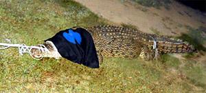 Mary River crocodile capture