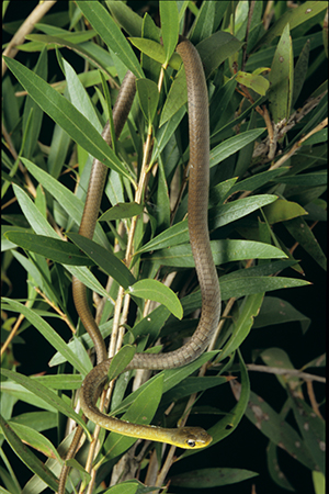 Common or green tree snake Photo Queensland Museum