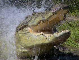 Crocodile attack. Photo Queensland Government.