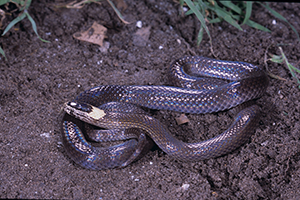 White-crowned snake. Photo: Queensland Museum