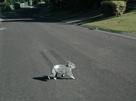 Koala crossing a road in the daytime