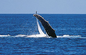 You need patience to make sure that seeing a whale is much more than a fluke (source: Tourism and Events Queensland)