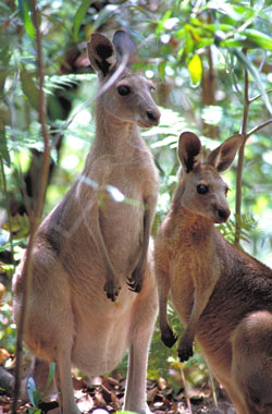 Female Eastern Grey kangaroo and juvenile