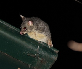 A female brustail possum emerging from a small gap between the roof and guttering of a surburban home (and a half grown joey followed her out!).