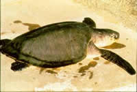 Olive ridley turtle sub-adult. Photo: Col Limpus (Queensland Government)