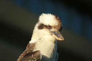 Laughing kookaburra. A regular visitor that will also eat small snakes.