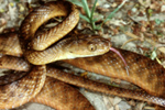 Brown tree snake. Photo: Queensland Government