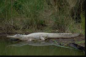 Freshwater crocodile. Photo Queensland Government.