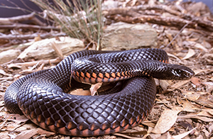 Red-bellied black snake. Photo Queensland Museum.