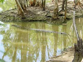 Crocodile in the water. Photo Queensland Government.