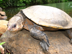 Female Johnstone River snapping turtle  Photo: A Freeman (Queensland Government)