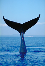 Humpback whale, tail wave