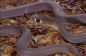 Yellow-faced whip snake. Photo: Queensland Museum